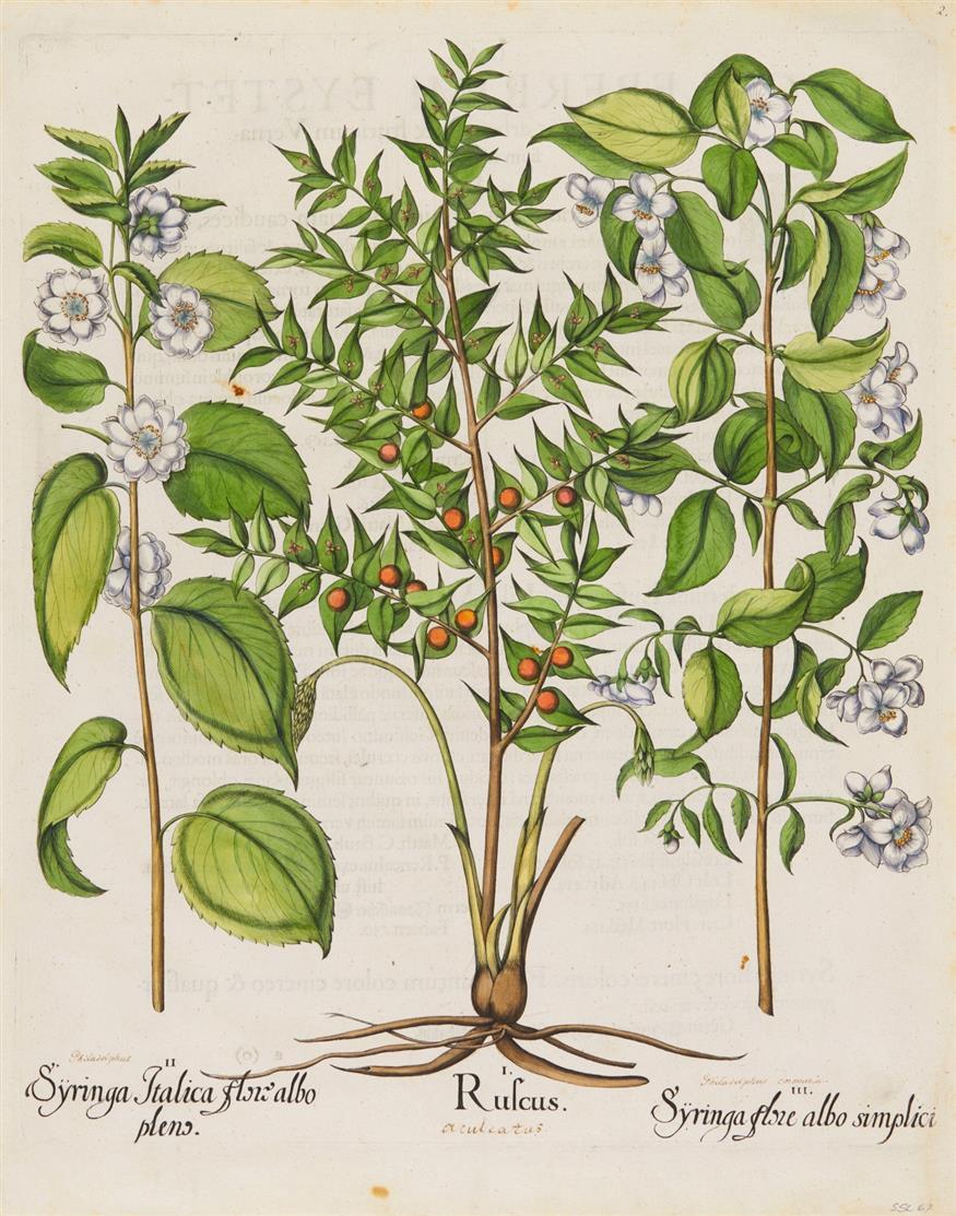 Hortus Eystettensis. Syringa Italica, Ruscus, Syringa flore albo. Kolor. Kupferstich. 1613.
