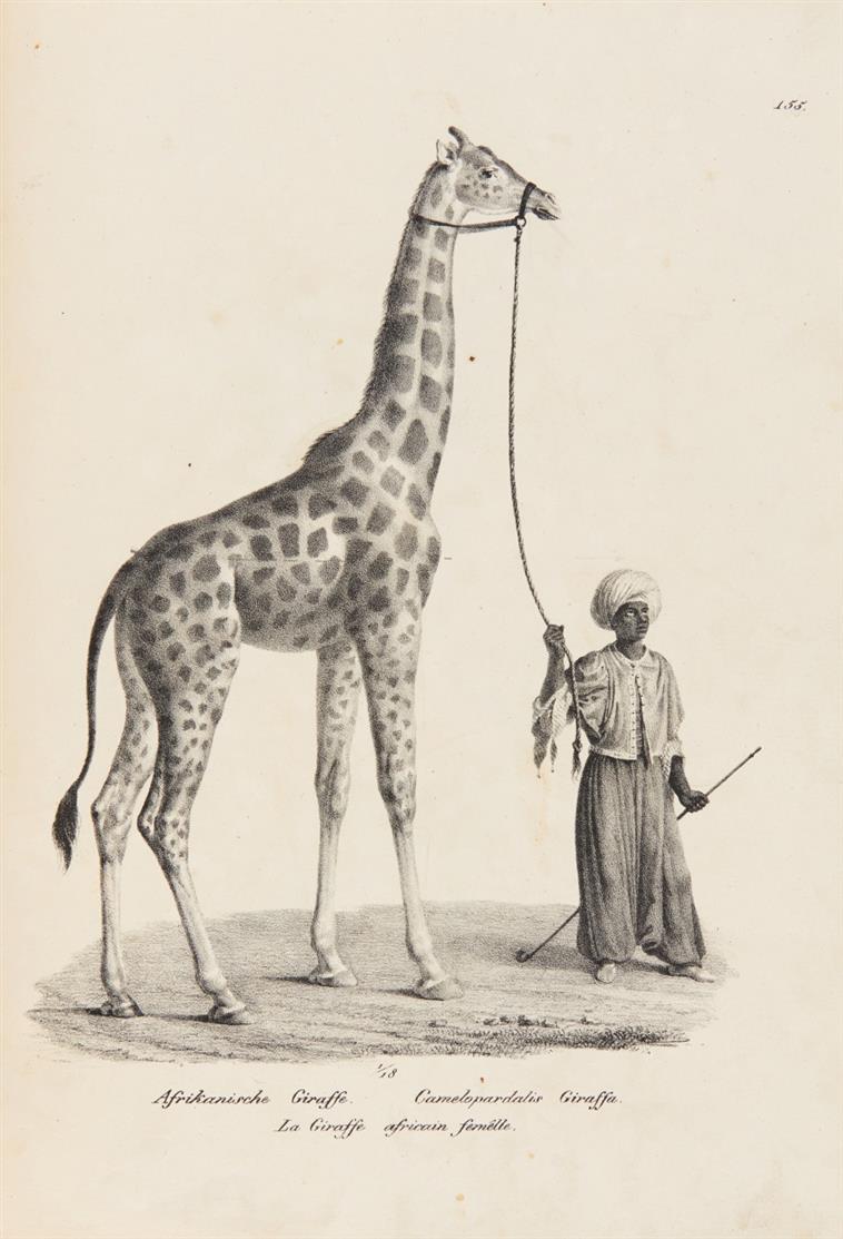 H. R. Schinz, Naturhistorische Abbildungen der Saeugethiere. Tafelband. Zürich 1824.