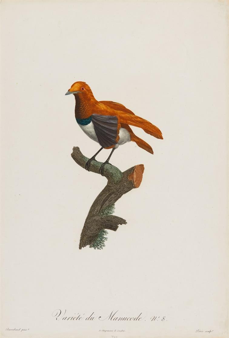 Vögel. Variété du Manucode (Paradieskrähe). Kolor. Farbradierung nach J. Barraband.