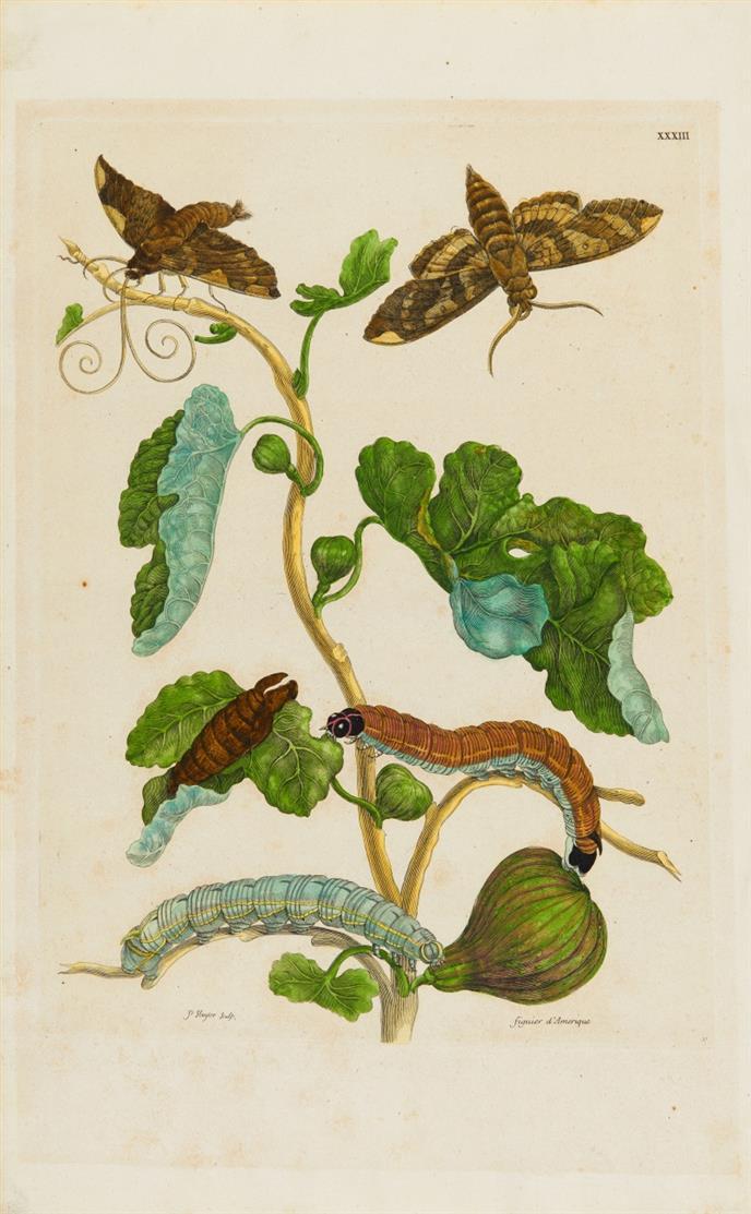 Schmetterling und Raupen. 2 Blatt kolorierte Kupferstich aus M.S. Merian.