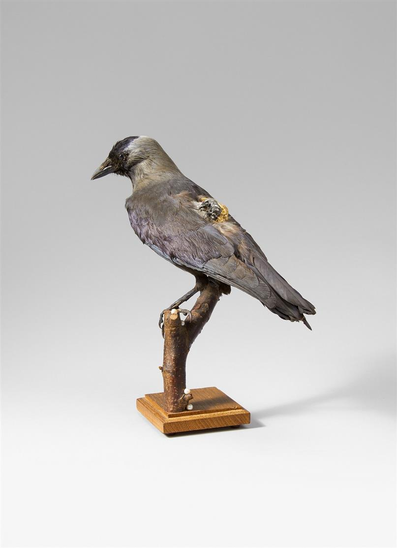 Kelly McCallum. Choucas (Dohle). Vogelbalg, präpariert, Metall, t. vergoldet und Holz. H. 31 cm.