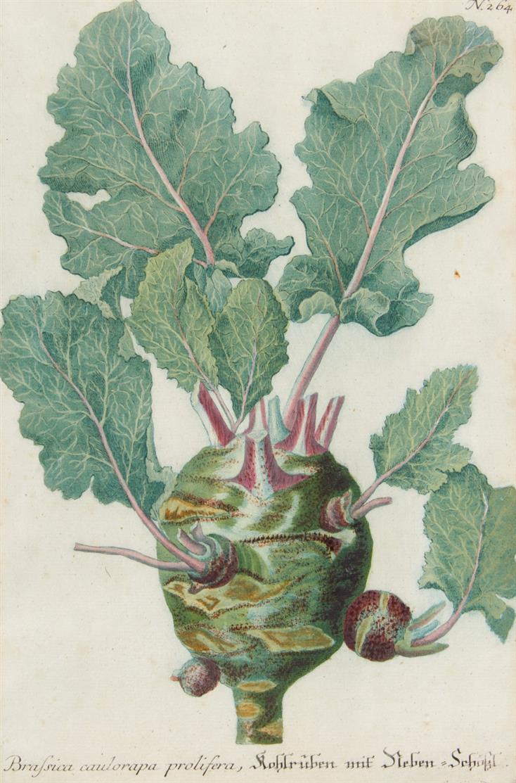 Kohl. 4 Blatt kolorierte Farbstiche aus Johann Wilhelm Weinmann