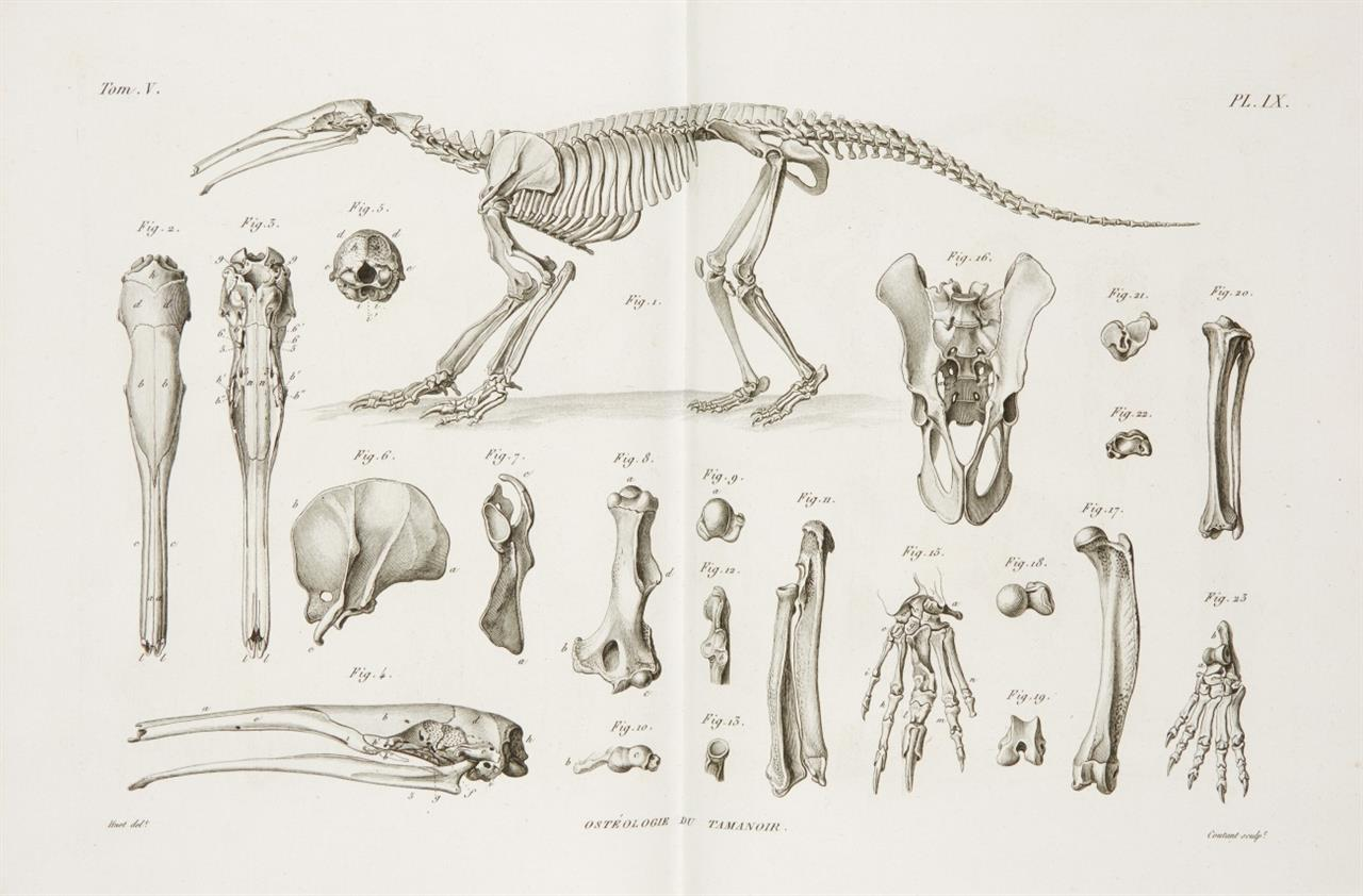 G. Cuvier, Recherches sur les ossemens fossiles. 6 Bände. Paris 1821-23.