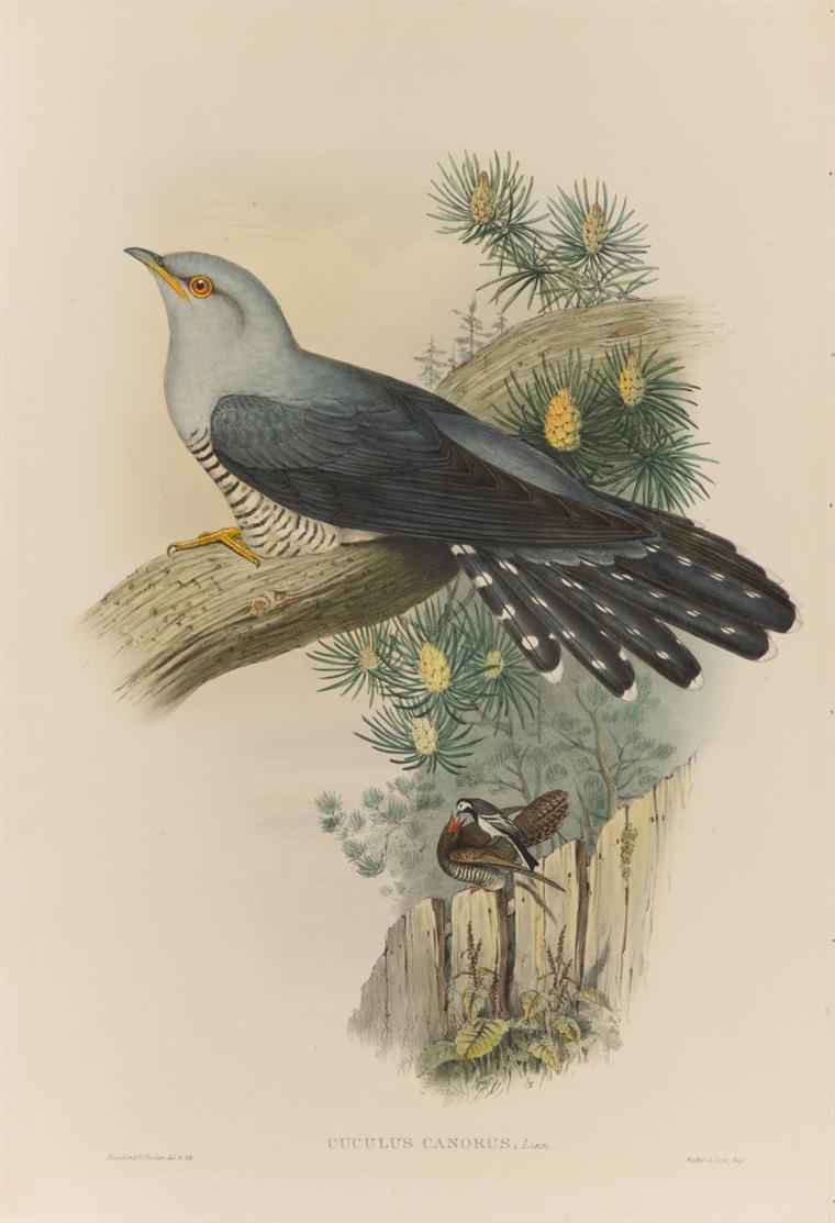 Vögel. 12 Blatt kolorierte Lithographien von und nach Gould, Richter, Wolf u.a. + Textblätter.