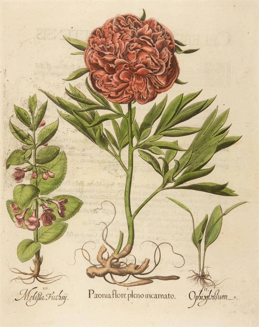 Hortus Eystettensis. Päonie. Kolorierter Kupferstich.