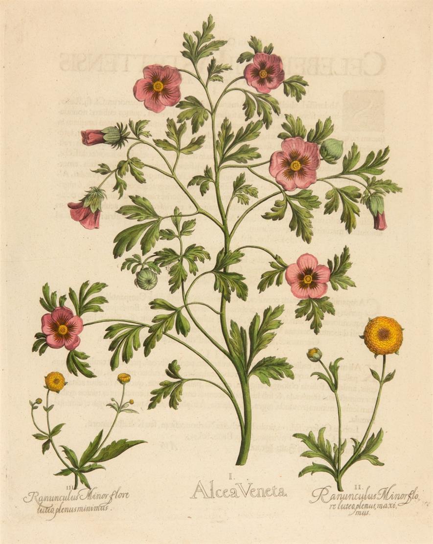 Hortus Eystettensis. Alcea Veneta (Ranunkeln). Kolorierter Kupferstich.