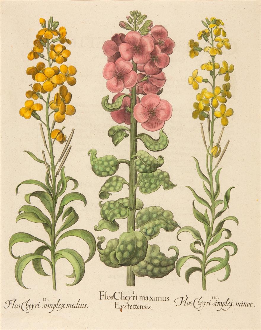 Hortus Eystettensis. Flos Cheyri maximus. Kolorierter Kupferstich.