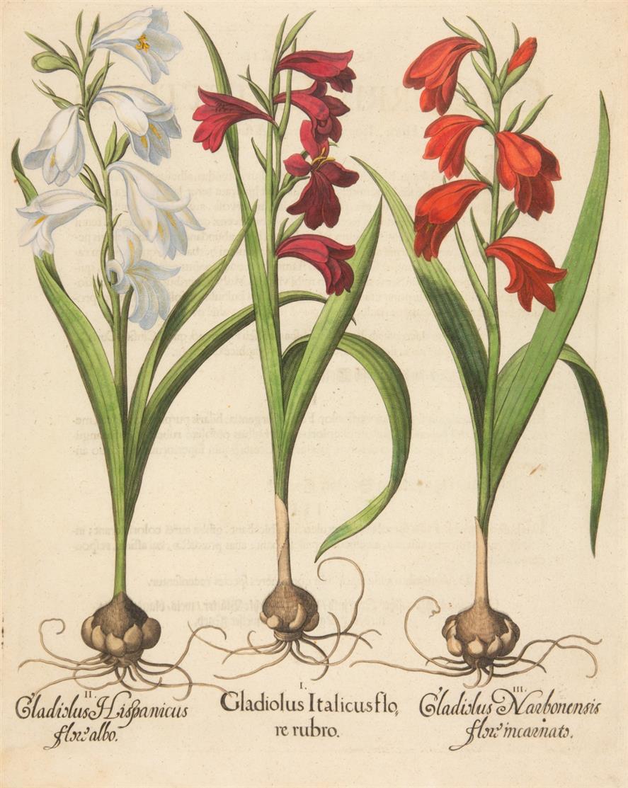 Hortus Eystettensis. Gladiolus Italicus. Kolorierter Kupferstich.