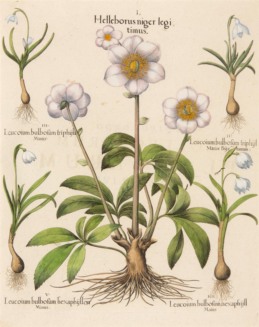 Hortus Eystettensis. Helleborus niger legitimus. Kolorierter Kupferstich.