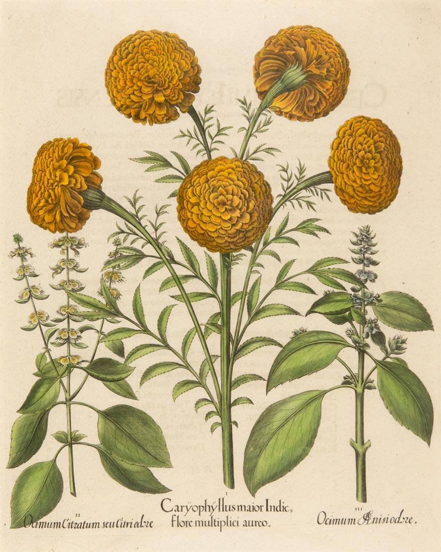 Hortus Eystettensis. Caryophyllus maior Indic. Kolorierter Kupferstich.