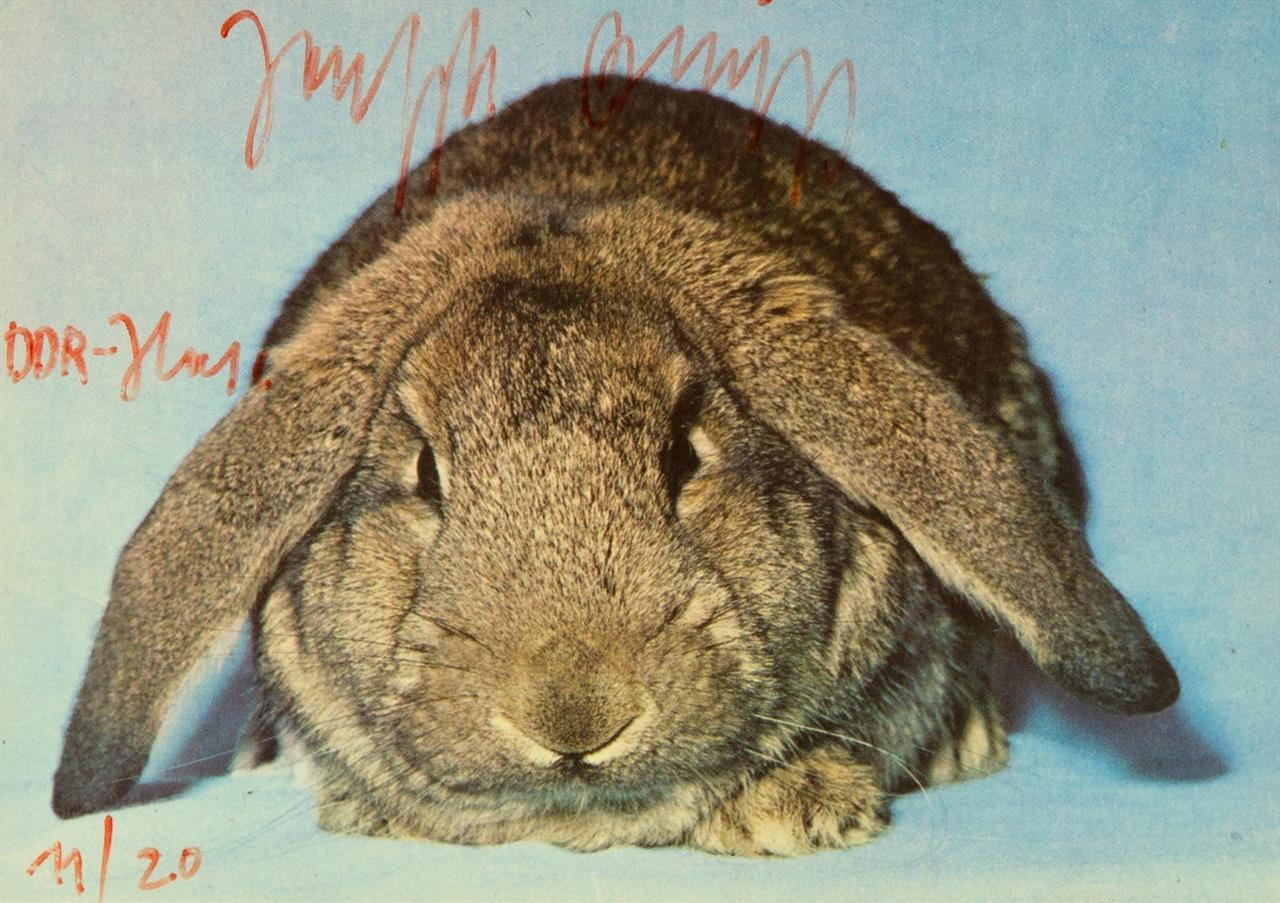 Joseph Beuys. DDR-Hase. 1979. Farbpostkarte mit handschr. Zusatz. Signiert. Ex. 11/20. Sch. 299.